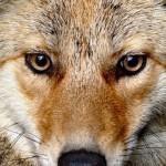 coyotemedium_CAPTURED_COYOTE
