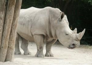 the rare white rhino