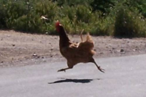 Why did the chicken cross the road? To return to the 33rd State Senate District.